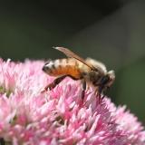 Honingbij op sedum