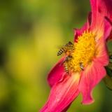 Honingbijen en solitaire bij op dahlia