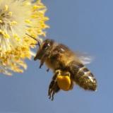 Honingbij op wilgenkatje