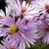Honingbij op aster