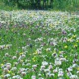Laag bloemenmengsel ter vervanging van gazon