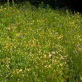 Ingezaaide bloemenweide in bloei