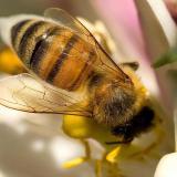 Vleugels honingbij