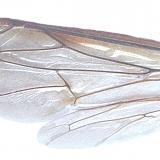 Vleugels wesp