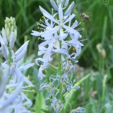 Honingbij arrival camassia cusickii - 759x1139 @150PPI web