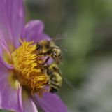 Bijen op dahlia\'s
