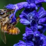 Honingbij drinkt nectar