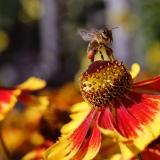 Honingbij met vol geladen stuifmeelkorfjes