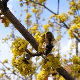 Honingbij op Cornus mas