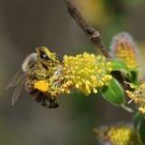 Honingbij op boswilg