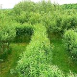 Willow maze, Roves Farm, Sevenhampton - Brian Robert Marshall - CC BY-SA 2.0