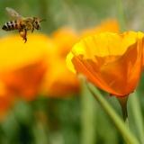Honingbij met korfje