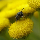 Maskerbij met nectar