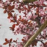 PRCENI bloem SPRING (20) - www.espaliers.eu