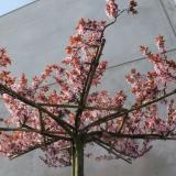 PRCENI bloem SPRING (21) - www.espaliers.eu