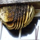 Wildbouw bijenraat