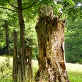 Oude boom met nestplaatsen