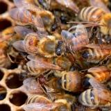 Varroamijten op honingbijen