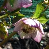 Honingbij op roze Helleborus