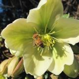 Honingbij op Helleborus