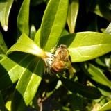 Honingbij op sarcococca var. humilis