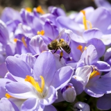 Honingbij op krokussen