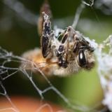 Gevangen honingbij